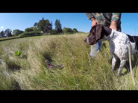 Princess, German Shorthaired Pointer, First introduction to a live bird on the ground