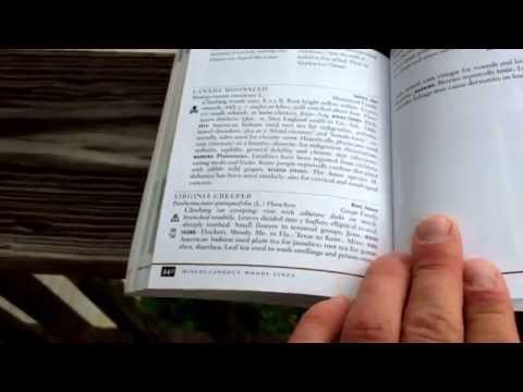Medicinal plant - Virginia creeper (toxic!!!)