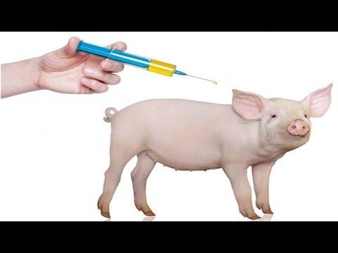 Clique e veja o vídeo Manejo de Leitões do Nascimento ao Abate - Vacinas
