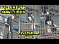 Lomba Kicau Burung Kacer Kacer Mewah Tampil Exotis Gaya Tarung Sadis Turunkan Sayap  Mp3 - Mp4 Download