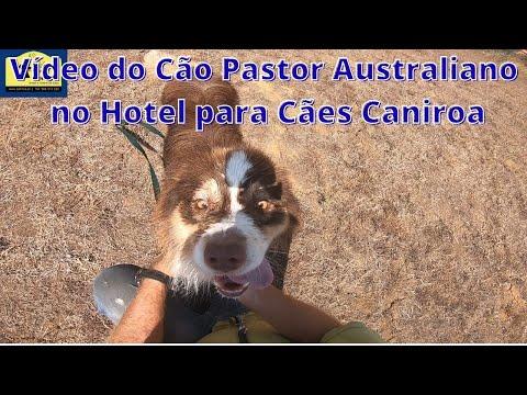 Vídeo do Cão Pastor Australiano no Hotel para Cães Caniroa