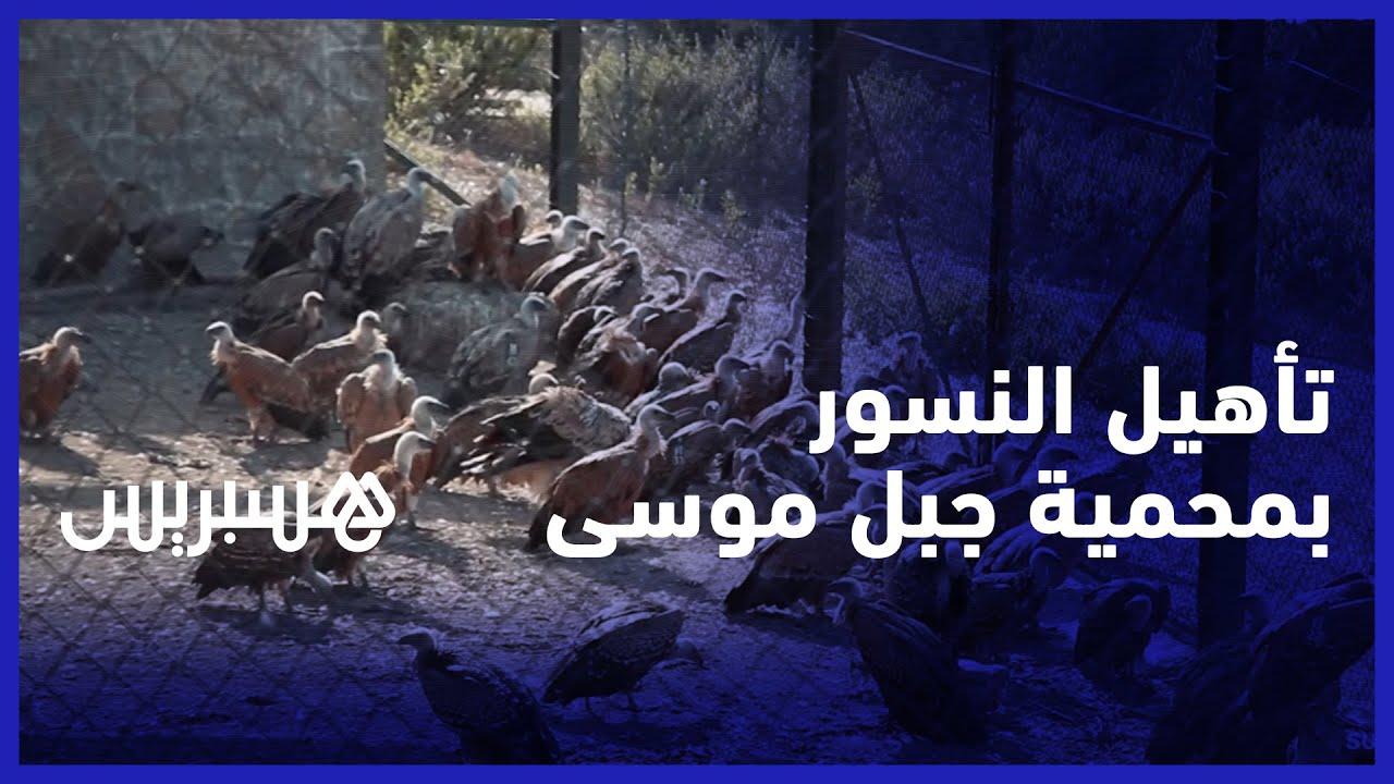 بعد انقراض بعضها في المغرب.. مهتمون يقومون باعادة تاهيل النسور المهاجرة بمحمية جبل موسى ببليونش