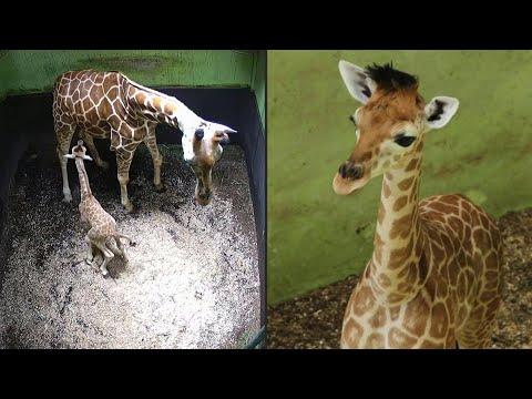 AFP: Indonésie: un bébé girafe né à Bali appelé