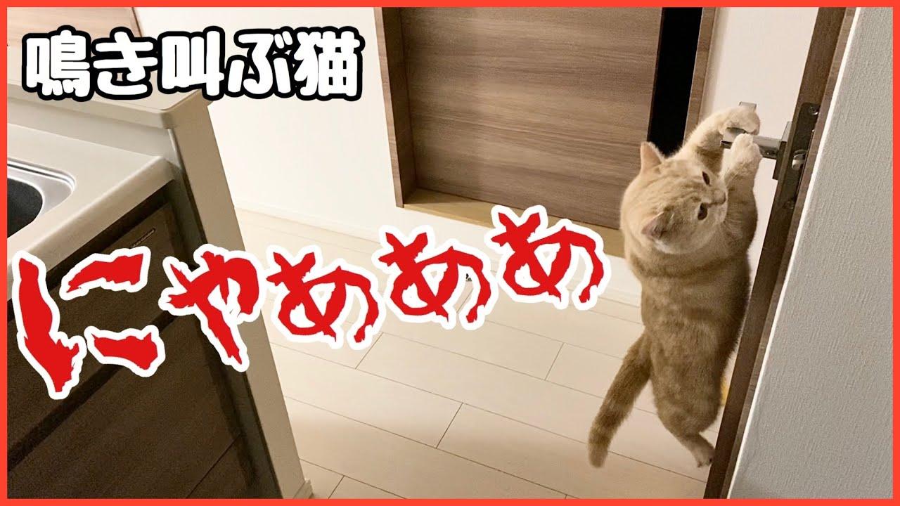 【猫の鳴き声】飼い主に会いたくて鳴き叫ぶ猫!胸が苦しくなる動画です…。Crying cat!Cute animals