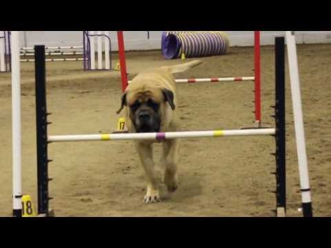 Thumbnail: Mastiff Competing At Dog Agility