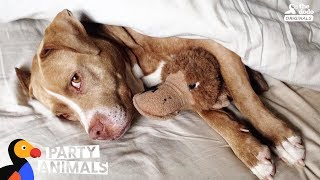 Pit Bull Dog Celebrates Being Cancer Free With A Huge Dog Party | The Dodo Party Animals thumbnail