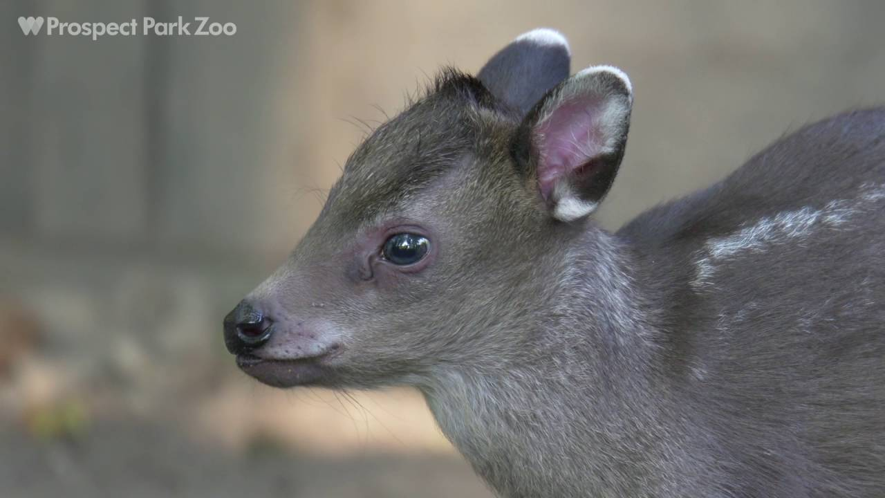 Tufted Deer Fawn Prospect Park Zoo YouTube
