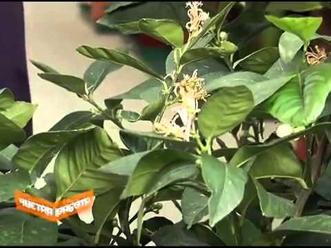 Домашние лимоны. Как вырастить лимон у себя на окне. - YouTube