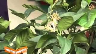 Комнатный лимон в домашних условиях(Сергей Липатов - ботаник, фитодизайнер. Проект