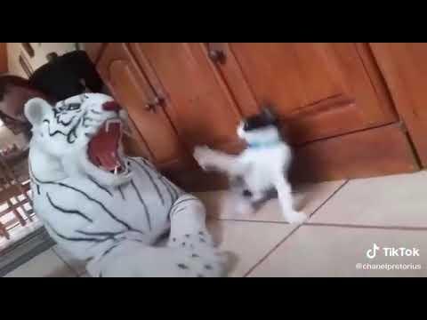 Tiktok Komik Kedi Videosu