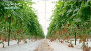 미래농업 스마트팜 [일본 도치기현 첨단 시설원예 방울토…