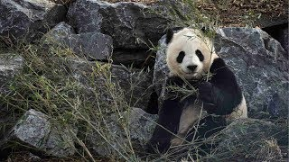 Calgary welcomes Chinese pandas with grand celebration