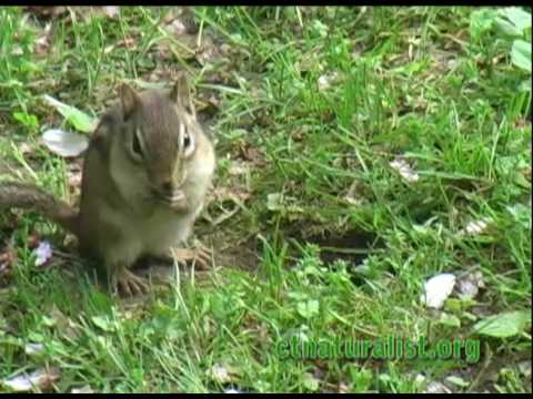 Chipmunk: backyard nature - CTnaturalist Online