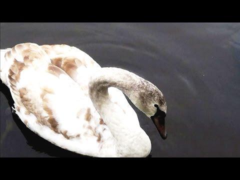Лебеди от весны до зимы. 8 часть Октябрь месяц. Swans from spring to winter.