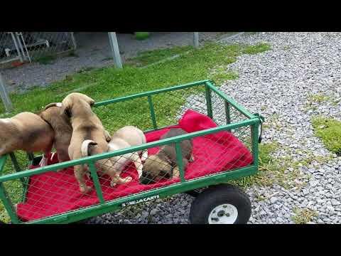 Elkhound Shar Pei Puppies