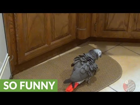 Ferocious parrot growls and fights with kitchen rug