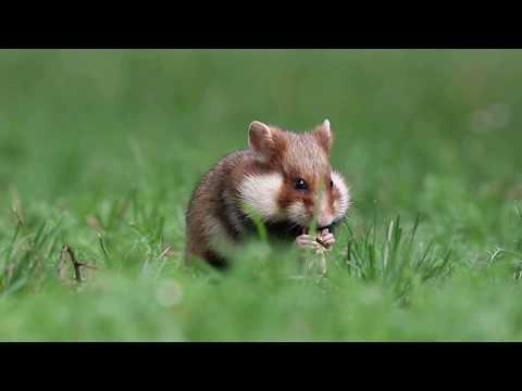 European Hamster (Cricetus Cricetus)