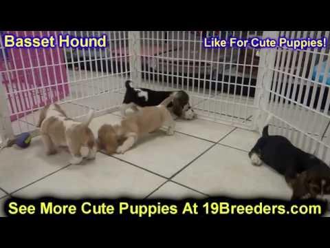 Basset Hound, Puppies, For, Sale, In, Anchorage, Alaska,AK, Fairbanks, Juneau, Eagle River
