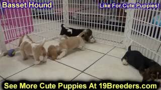 Basset Hound, Puppies, For, Sale, In, Anchorage, Alaska,AK, Fairbanks, Juneau, Eagle River