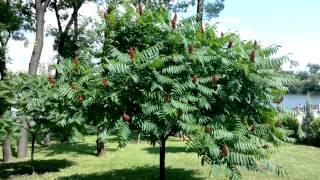 сумах оленерогий или уксусное дерево - ландшафтный дизайн(, 2013-06-23T16:39:07.000Z)