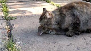 кошка поймала крысу 25 кг