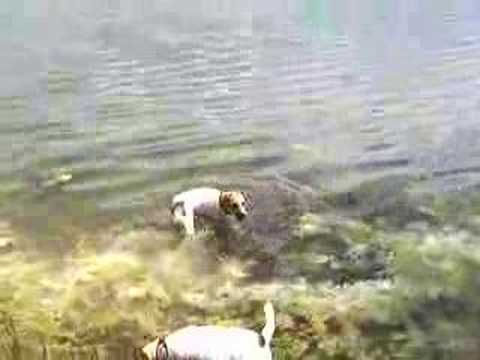 great-parson-jack-russells-at-the-lake-part-6!