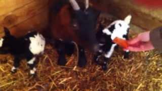 Гордая мама-коза Кавка и морковка