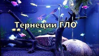 Тернеция гло  Аквариумная рыбка в маленьком аквариуме