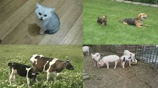 Изучаем домашних животных для детей  Обучающее видео с голосами животных