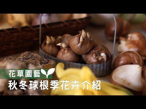 【園藝密技大公開】高開花率、零失敗,秋冬球根季花卉介紹