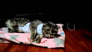 Кошка после стерилизации отходит наркоза