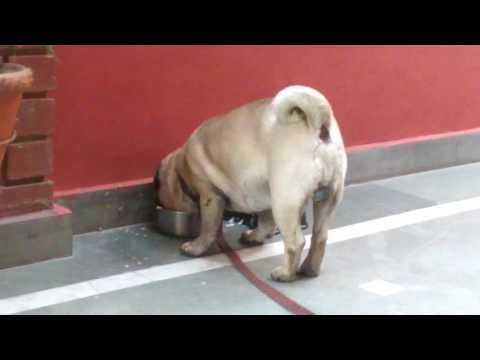 Pug Dog Lucknow, India