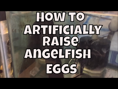 How To Artificially Raise Angelfish Eggs Aquarium Fish Room VLOG
