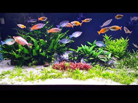 No Fertilizer, No co2, Just sand substrate! Planted Aquarium.