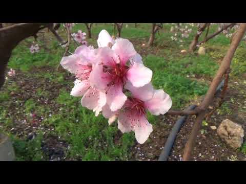 Şeftali Çiçek Açtı