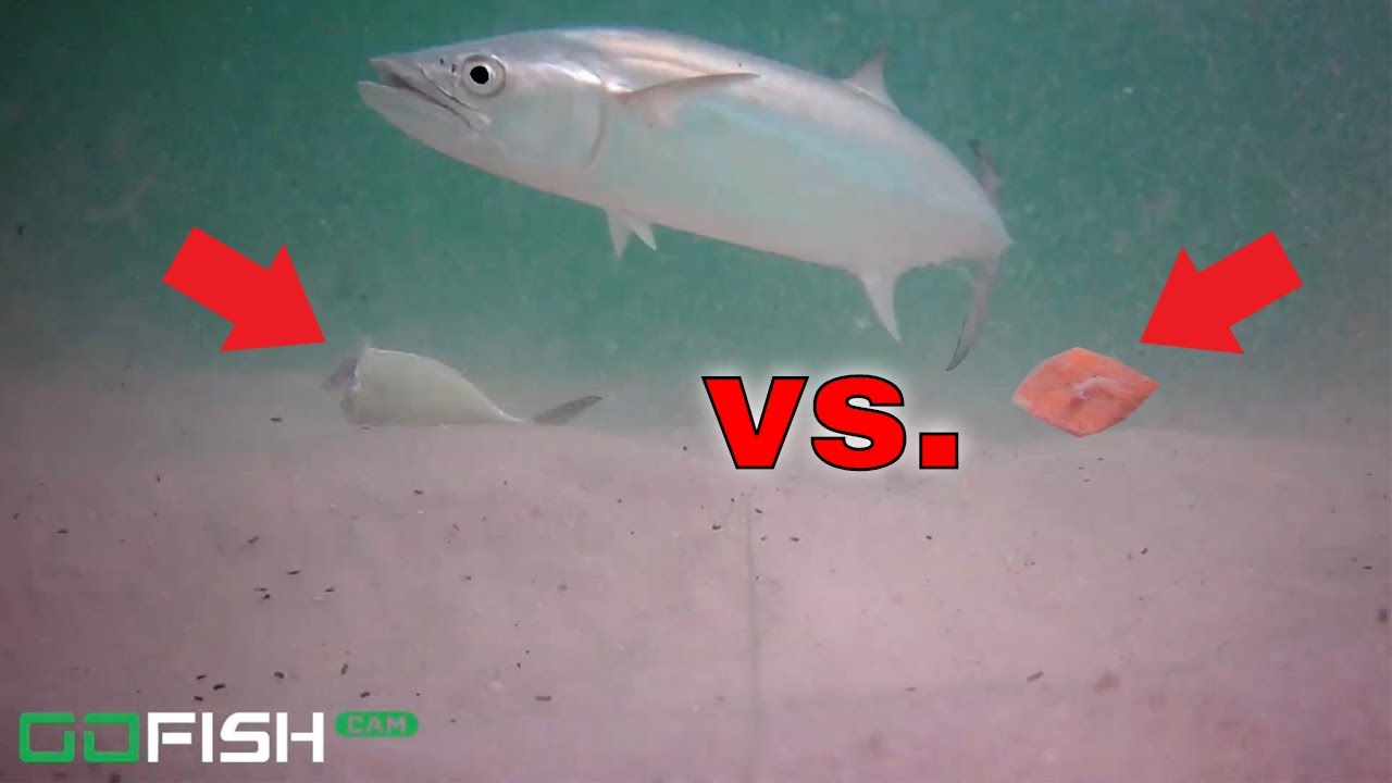 Underwater VIDEO Challenge! FRESH CUT BAIT VS. BIG BAIT ROLL UP SURF FISHING!