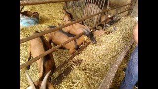 Projet de commercialisation de races caprines en Guadeloupe