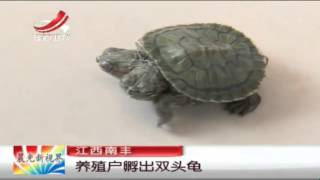 Mutant turtle! Two headed reptile hatched on a Chinese farm