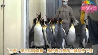 國王企鵝換房齊步走 企鵝給問嗎週日上場 King Penguins Move to New Enclosure
