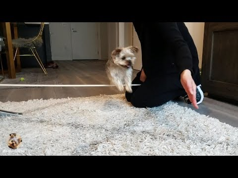 Teaching A Teacup Yorkie New Dog Tricks -- How To Jump