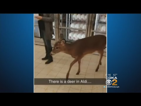 Oh Deer! Beaver County Supermarket Customers Encounter Deer In Store