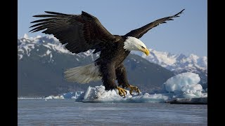 Most Amazing Wild Animals Attacks TOP 10 Eagle attacks   Eagle vs,Wolf   YouTube
