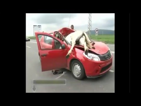 Top 10 Animal Car Crashes   Top 10 Car Animal Crashes   Crashes with animals and cars accident with