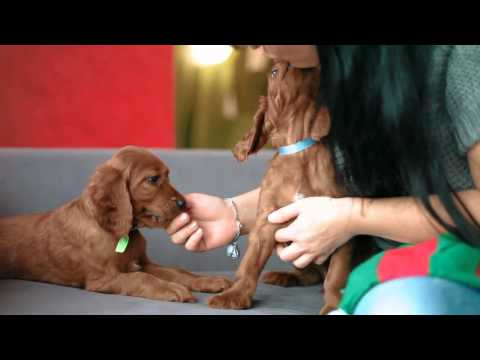 Irish Setter Puppies -  7 weeks old (Copper's Gypsy Rose & Neiven Crispy Chocolate Cookie)