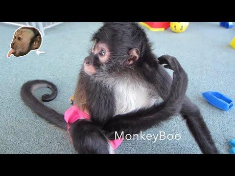Capuchin Monkey Loves Spider Monkey