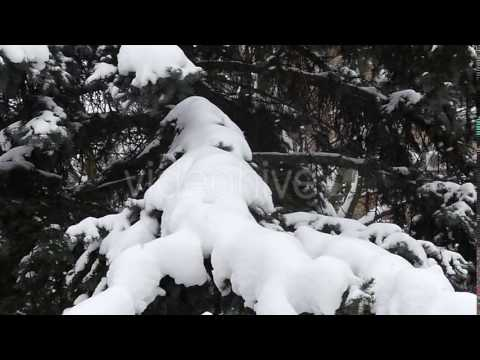A Big Pine Tree Under Heavy Snow In Windy Weather