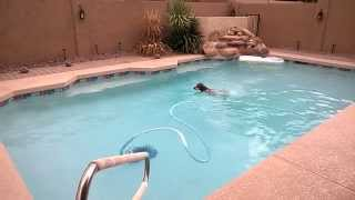Duke, Our German Shorthaired Pointer Swimming Laps