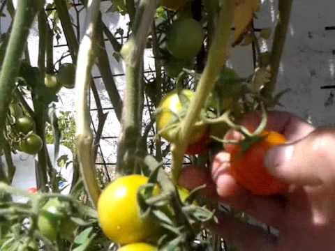 Tomates cherry en maceta youtube - Tomates cherry en maceta ...