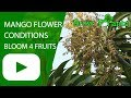 Mango flower - conditions for Mango tree in order to bloom for fruits