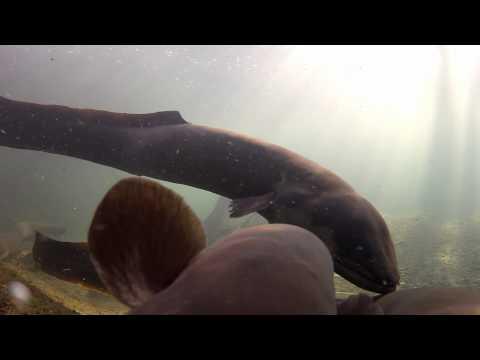 Anguilla : The Humble Eel